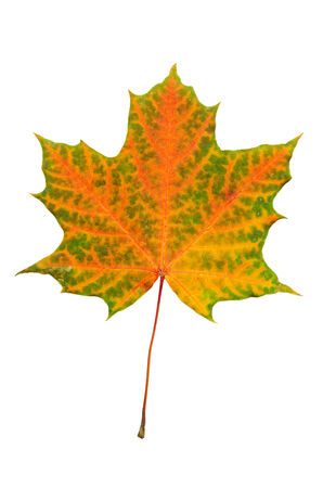 Autumn red and green maple leaf isolated on white background photo