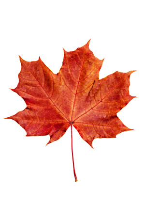 Autumn red maple leaf isolated on white background photo