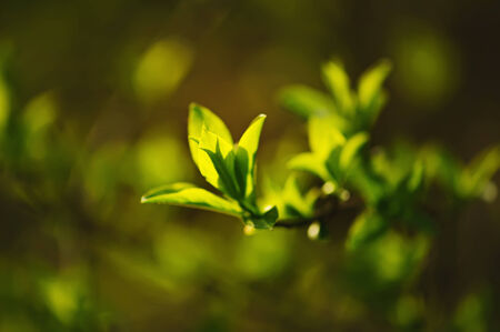 Sunny young green spring  leaves, natural eco background photo
