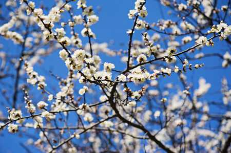 Apricot tree flower, seasonal floral nature background photo
