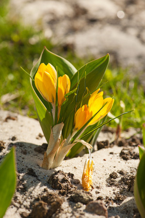 Blossoming of yellow crocus flower at spring, macro photo