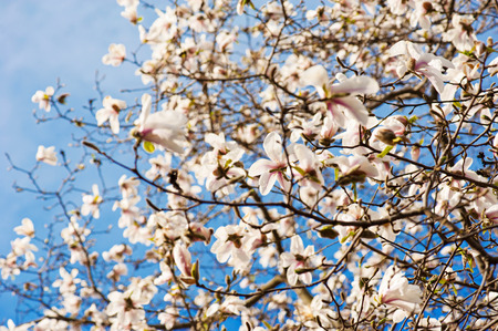 Blossoming of white magnolia flowers in spring time photo