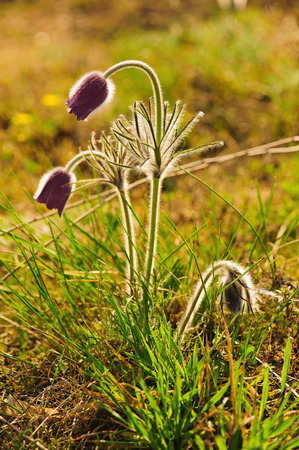 Pasque-flower growing in nature, macro spring floral background photo