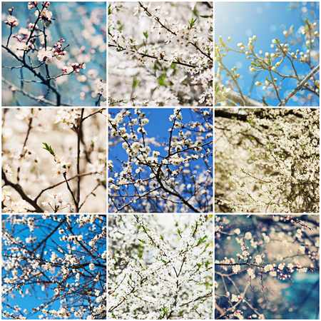 Collection of apricot and plum  flowers in spring time, natural seasonal background photo