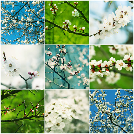 Collection of apricot flowers in spring time with green leaves, macro photo