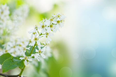 Bird-cherry tree flowers against the blue sky, natural floral background photo