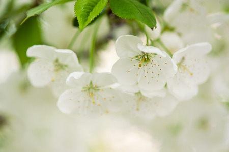 Blossoming of cherry flowers in spring time with green leaves, macro photo