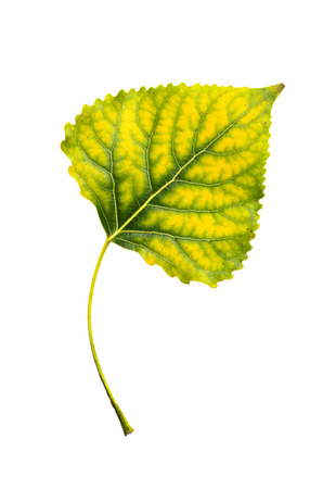 Autumn yellow green poplar leaf isolated photo