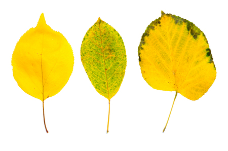 Autumn yellow three linden leaves isolated on white background photo