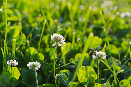 White  clover flowers in spring, shallow depth of field photo
