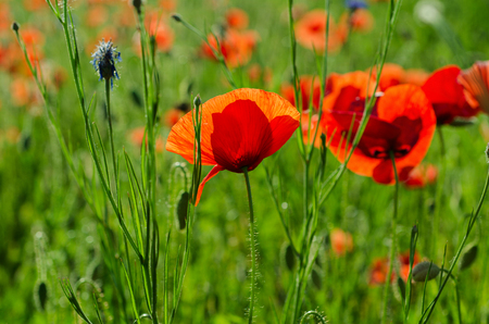 Red poppy in a green grass field, natural floral background photo