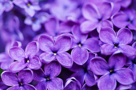 Macro image of spring lilac violet flowers, abstract soft floral background photo