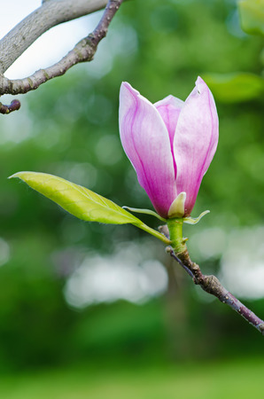 Blossoming of magnolia flowers in spring time, floral background photo