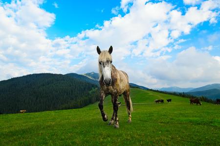 Horse grazing on the mountain meadow in Carpathian photo
