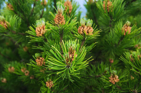 conifer evergreen tree branches with cones photo