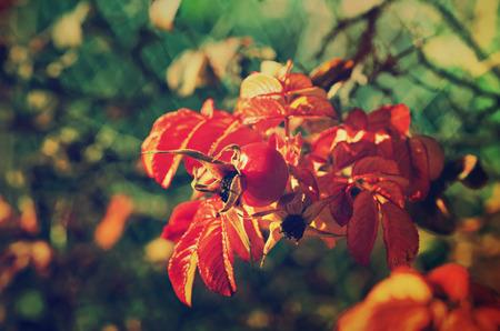 Rosehip berries photo