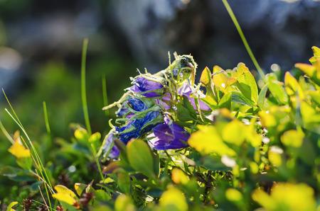 campanula: Campanula alpina Stock Photo