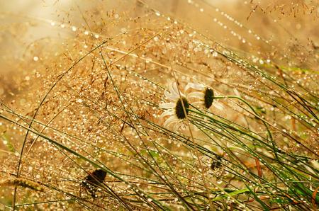 Wild camomile flowers photo