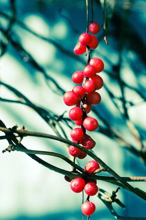 Schisandra  berries photo