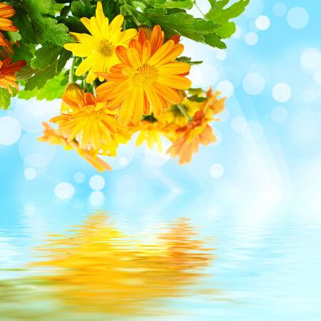 Chrysanthemum floral background photo