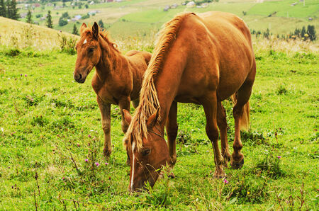 Bay horses grazes in the mountains photo