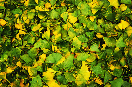 Leaves of Gingko Biloba photo