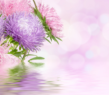 Aster flowers photo