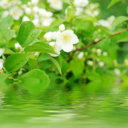 jasmine flower: Jasmine flower
