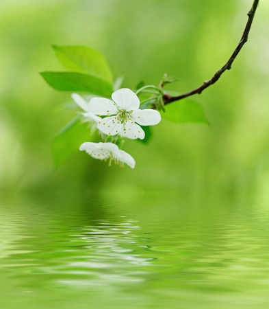 water spring: Cherry flowers