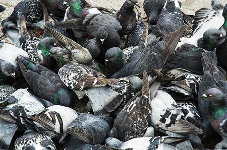 Urban pigeons photo