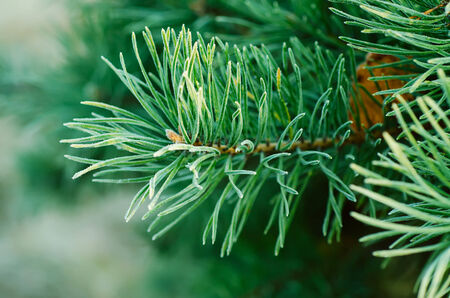 Pine iced tree photo
