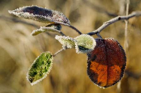 medow: Frozen leaf Stock Photo