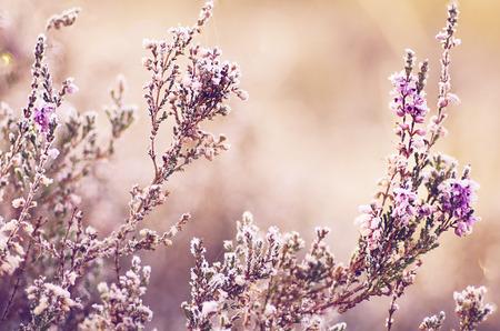 Gefrorene Heideblume