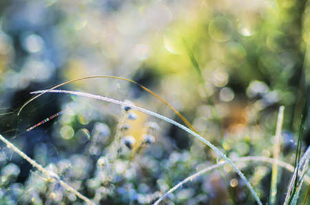 hoar: Frozen meadow plant