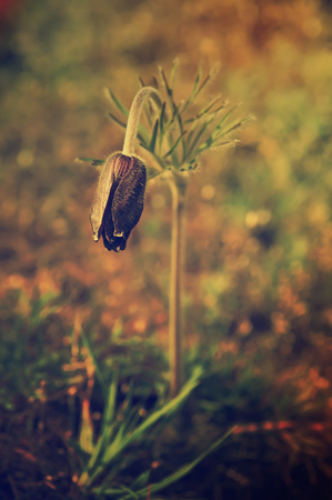 Pasque-flower in nature photo