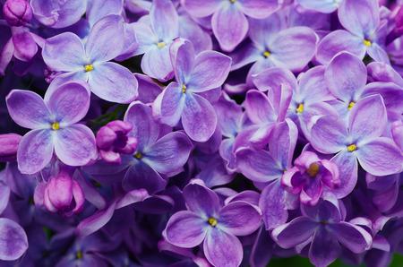 Imagen macro de flores de color violeta lila primavera