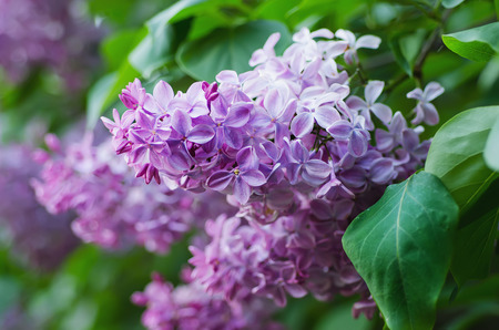 lilac: Branch of lilac flowers with the leaves