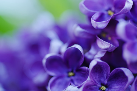 flower close up: Macro image of spring lilac violet flowers Stock Photo