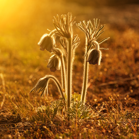 Pasque-flower growing in nature on sunset, macro spring floral background photo