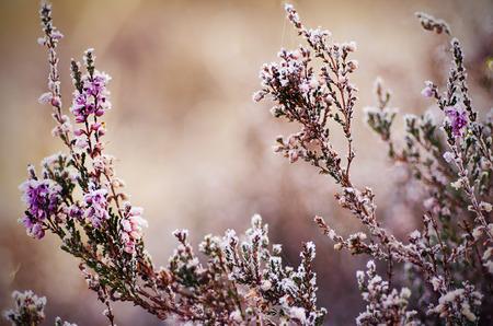 medow: Frozen heather flower