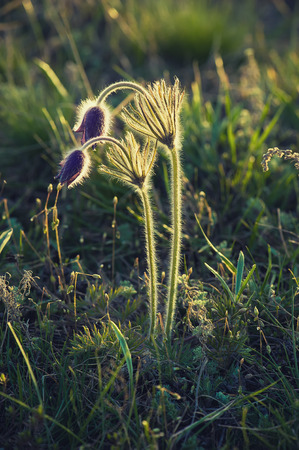pasqueflower: Pasque-flower in nature