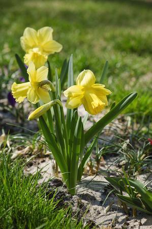 daffodils: Beautiful yellow daffodils