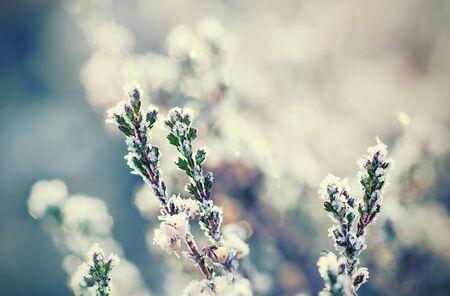 heather: Frozen heather flower