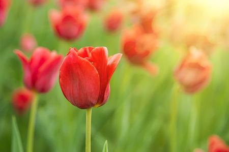 tulipan: Czerwony piękne tulipanów
