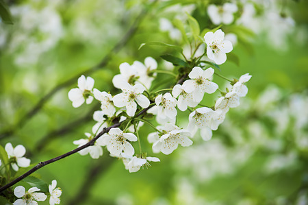 Bloemen van de kersenboom Stockfoto