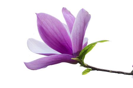 Flor de la magnolia Foto de archivo - 37480899