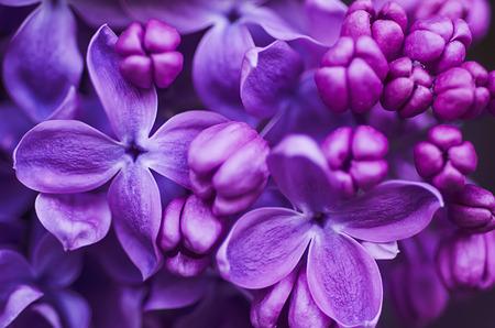 bouquet fleur: Lilas fleurs fond Banque d'images