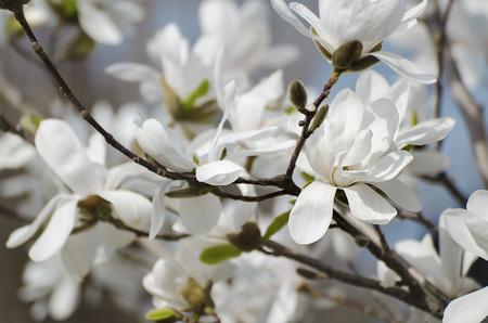 Magnolia white  flowers photo