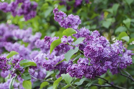 Spring lilac flowers photo