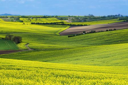 Rapeseed yellow fields in spring Zdjęcie Seryjne